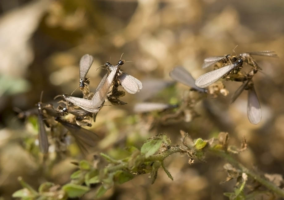 Winged termites emerge from subterranean nests to mate and start new colonies.
